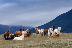 SHL_4475 copy (Shlomi's Pic) Tags: addtoonepic איסלנד בעליחיים טבע טיולחול סוס