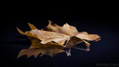 Autumn (#Weybridge Photographer) Tags: adobe lightroom canon eos dslr slr 5d ii mkii autumn brown leaf leaves reflect reflection studio