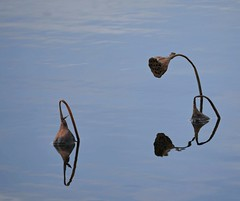 Reflection Challenge (Corgibird) Tags: water wildflowers lake pond blue skiy relction mirror pods seedpods reflections