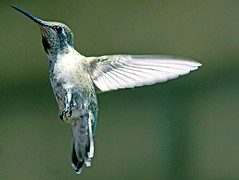 Adapt and survive ..... (Chuck Gerber) Tags: elements annashummingbird hummingbird