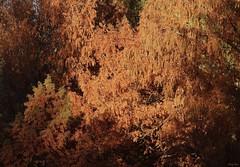 Dawn Redwood at Dawn (Harry Lipson) Tags: branches leaves redwood tree trees dawnredwood foliage harrylipson harrylipsoniii