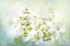 White Pear Blossom (Jacky Parker Floral Art) Tags: pearblossom flowers white closeup creativeedit horizontalformat selectivefocus focusonforeground floralart beautyinnature freshness fragility springflowering spring outdoors nopeople delicate flowerphotography naturephotography uk nikon tree blooms flora