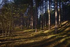 Formby Woods - November-2016_002_gpx (syberad) Tags: 2016 winter formby woods forest pine trees seaside coast coastal sssi sunrise morning landscape formbywoods formbynaturereserve merseyside november sunshot intothesun shadows shadow plants