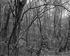 Bare branches (Stanley Burn Woods) (Jonathan Carr) Tags: tree branches abstract abstraction landscape rural northeast baretoyo45a largeformat 4x5 5x4 black white bw monochrome