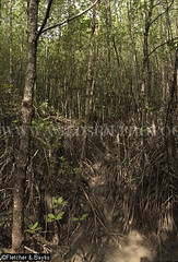 39979 Mangrove trees (Rhizophora sp) with prop roots, Mangrove Forest Research Centre, Ranong Biosphere Reserve, Ranong, Thailand. (K Fletcher & D Baylis) Tags: plant vegetation flora tree mangrove mangrovetree mangroveforest swamp mangroveswamp rhizophora roots proproots stiltroots intertidal mangroveforestresearchcentre biospherereserve ranongbiospherereserve ranong thailand southeastasia november2016