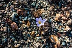 20161120-150 (sulamith.sallmann) Tags: pflanzen attika blume flower greece griechenland krokus plants sounio grc sulamithsallmann