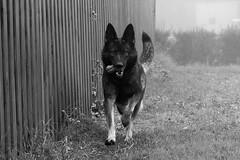 (EiNkEl) Tags: gsd pastor aleman perro galope dog blackwhite pastoraleman pastoralemán germanshepherd