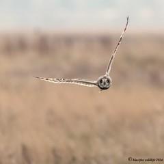 gotcha (blackfox wildlife and nature imaging) Tags: canon 80d sigma150600mmossport shortearedowls owls raptor birdofprey bif deeestuary wirral handheld