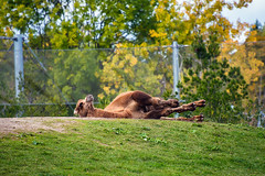 Bactrian Camel (Jennifer Stuber) Tags: toronto zoo torontozoo bactriancamel camel nikond750 animal animals wildlife