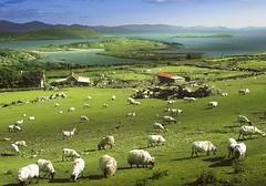 92785038 (osiemojob) Tags: animaldã©levage bã©tail comtã©dekerry europe irlande ovin scanoriginal troupeau agriculture campagne elevage enlargeur mouton photocouleur