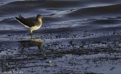 Green Sandpiper-1726 (Wildlife Boy1) Tags: birds wildlife nature wildlifephotography nikon nikond7100 nikonlens pitsfordnr jacob spinks 2016