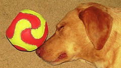 Daisy loves her ball even in her sleep. (kennethkonica) Tags: dog animalplanet pet yellowlab lab canonpowershot canon marioncounty global random hoosiers america usa midwest indiana indianapolis indy fun outdoor ball sleep yellow red daisy funny cute indoor cutie