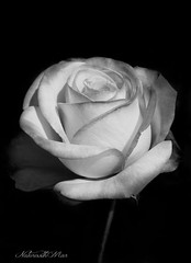 Our Prayers are with Brazil (Explore) (NaturewithMar) Tags: rose blackandwhite blackbackground macro monochrome petals