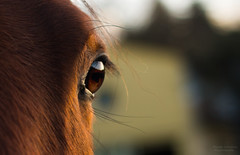 when souls connect (dinahlorraine) Tags: horse pferd eye auge closeup brown pet haustier tier animal
