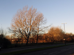 2016_11_280003 (Gwydion M. Williams) Tags: coventry britain greatbritain uk england warwickshire westmidlands tree trees