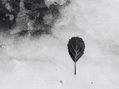 (side rocks) Tags: sunday sulking sulk dark depression anxiety depressed tampere rauhaniemi finland bw blackandwhite monochrome blackwhite nature leaf ice cold snow dead death seasons winter autumn leafonsnow onice freezing chilly frozen contrast highcontrast