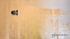 Foulque macroule (www.jerome-t-photos.fr) Tags: canard gel etang extrieur oiseau