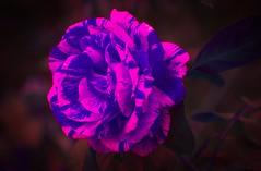 Psychedelic Candy Stripped Rose - HSS! (JSB PHOTOGRAPHS) Tags: dsc1089 copy candystrippedrose hss sliderssunday psychedelicrose nikon d1