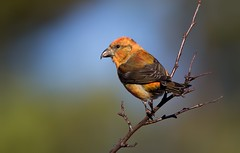 Crossbill (Simon Stobart (Away for a Week)) Tags: crossbill make tree brach perched northeastengland