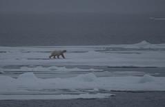 DSC_3431 (stacyjohnmack) Tags: july23 polarbear artic