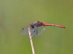 Bloedrode heidelibel man
