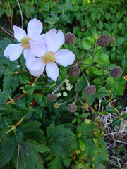 Anemone (Chancelrie) Tags: plant flower garden outdoor anemone windflower anemonetomentosa