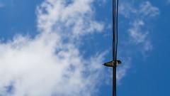 Esperant el moment. (Marcos Costa Fotografia) Tags: sky bird fly cel cable cielo electricity vol pajaro stay volar esperar ocell