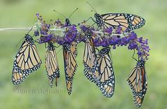The Gathering (chevymom0) Tags: park macro nature beautiful butterfly bug garden insect wings allen transformation michigan caterpillar monarch environment metamorphosis downriver waynecounty canoneosdigitalrebelxti monarchwaystation2408