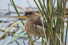 Blongios nain / little bittern