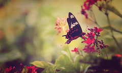 The red angel (kartr91) Tags: flowers nature butterfly nikon zoom butter tamron 70300 d3300