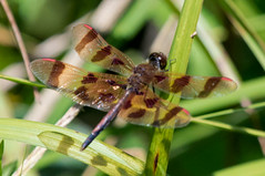Halloween Pennant (Finatic 's iNaturalist Stream) Tags: halloweenpennant