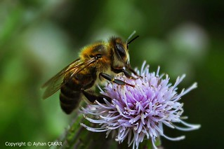 Souls of the Nature, Honey Bees