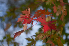 autumn in st. thomas (thatgirlwiththekicks) Tags: flowers blue autumn trees red sky brown ontario canada green fall nature grass leaves pinetree weeds bokeh pineneedles pinecone stthomas saintthomas