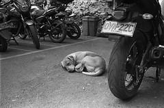 Perro parqueadero (RoryO'Bryen) Tags: dog copyrightroryobryen roryobryen rangefinder leicamp leicasummiluxm35mmf14asph 35mmsummiluxmasph 35mm trix kdoak kodak