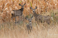 October 4, 2015 - Mule deer hang out in a field near Denver International Airport. (Tony's Takes)