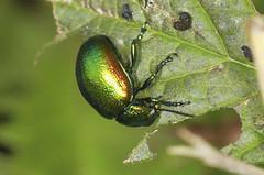 Tansy Beetle Feeding on Gypsywort (Prank F) Tags: macro nature closeup insect leaf wildlife beetle tansy wildlifetrust woodwaltonfen gypsywort chrysolinagraminis greatfen huntingdonuk