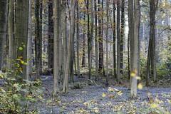 IMG_3212-Modifier (mycenium) Tags: wood mushroom canon belgium region foret brabant champignon bois 6d wallon wallonie wallone belgiquie