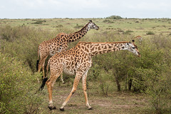 Masai Giraffe (Nomad Drifter) Tags: africa animal mammal outdoors kenya wildlife safari giraffe plains maasai grasslands giraffa herbivore twiga gamepark masaimara wildlifesanctuary giraffacamelopardalistippelskirchi masaigiraffe keekorok narok