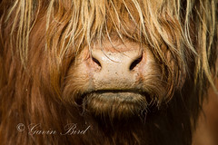 Highland Cow (gbird521) Tags: pictures canon point nose scotland landscapes cow highlands alba scottish images highland 7d sutherland crofting strathy