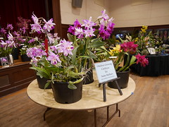P1100044 (cieneguitan) Tags: flora lan bunga orkid okid angrek anggerek