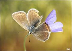 Alegre pequeña (- JAM -) Tags: naturaleza flower macro nature insect nikon flor explore jam mariposas d800 insecto macrofotografia explored lepidopteros juanadradas