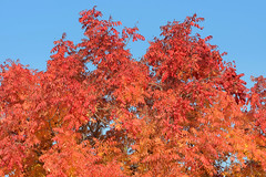 Red (rschnaible) Tags: california blue autumn red sky orange usa west color tree fall colors outdoors us colorful western