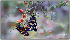 Inseparable (juliewilliams11) Tags: butterfly insect outdoor photoborder flowers newsouthwales australia foliage black orange