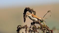 Red-backed Shrike (Lanius collurio) (jaytee27) Tags: redbackedshrike naturethroughthelens