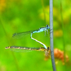 Two Dragonflies (Pauline Deas) Tags: callander trossachs insects dragonflies outdoors