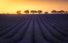 La balade des oliviers (jonathan le borgne) Tags: sunset dusk sky flower nature purple lavender olive tree flowers light sun landscape field summer orange yellow france valensole canon canon6d lines canonef70200mmf4islusm golden provence
