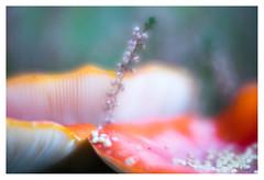 Heather and amanitae muscaria (leo.roos) Tags: mushroom mushrooms fungus fungi paddenstoel paddestoel paddenstoelen paddestoelen schimmel schimmels zwam zwammen flyagaric flyamanit amanitamuscaria vliegenzwam autumn herfst fall oktoberfest2016 challenge dyxum soft glowing ethereal dreamy velvety lensbabyvelvet5616 emount a7 darosa leoroos red rood