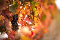 DAYS OF WINE (Jesus Bravo) Tags: wine wineyard winery vendimia rioja spain autumn red yellow vino