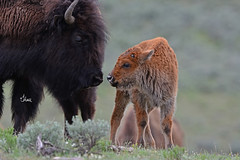 Sweet MOMent Between Bison Cow and her Calf - 7483b+ (teagden) Tags: bison cow bisoncalf babybison buffalo americanbuffalo bisoncow jenniferhall jenhall jenhallphotography jenhallwildlifephotography wildlifephotography wildlife nature naturephotography photography wild nikon yellowstonenationalpark yellowstone national park ynp yellowstonepark yellowstonewildlife sweet cute sweetmoment momandbaby