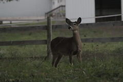 _MG_2046 (thinktank8326) Tags: deer whitetaileddeer fawn doe babyanimal babydeer
